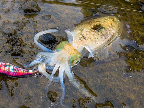 この画像は、サイトの記事「『釣りよかでしょう イカ釣り』 ネットで話題 YouTube公式動画ご紹介!」のイメージ写真画像として利用しています。