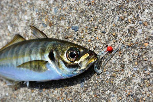 この画像は、サイトの記事「アジ釣り ワーム ネットで話題 魚釣り専門 YouTube注目無料視聴動画ご紹介!」のイメージ写真画像として利用しています。