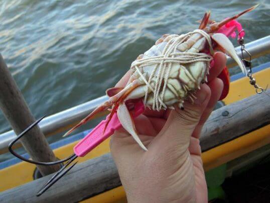 この画像は、サイトの記事「マダコ釣り 仕掛け ネットで話題 魚釣り専門 YouTube注目無料視聴動画ご紹介!」のイメージ写真画像として利用しています。